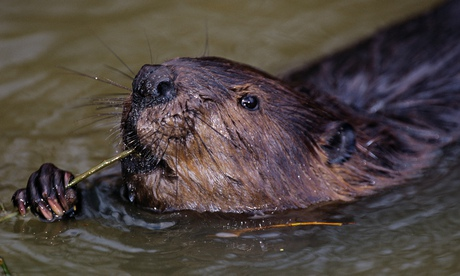 Stop the control freaks who want to capture England's wild beavers