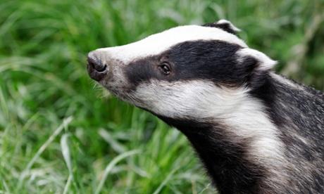 Badger cull pilot risks spreading bovine TB further, study says