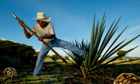 A farm worker uses a coa to cut the leaves off a ripe agave in Tequila, Mexico. One of the greatest injuries in agave harvesting is accidentally hitting the foot with the extremely sharp blade.