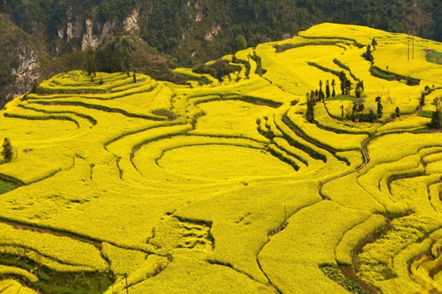Mustard fields in Yunnan province, China.