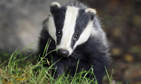 New round of English badger culls given go-ahead