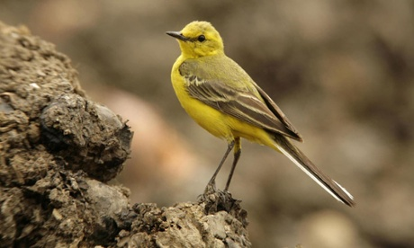UK wagtails face long-term decline