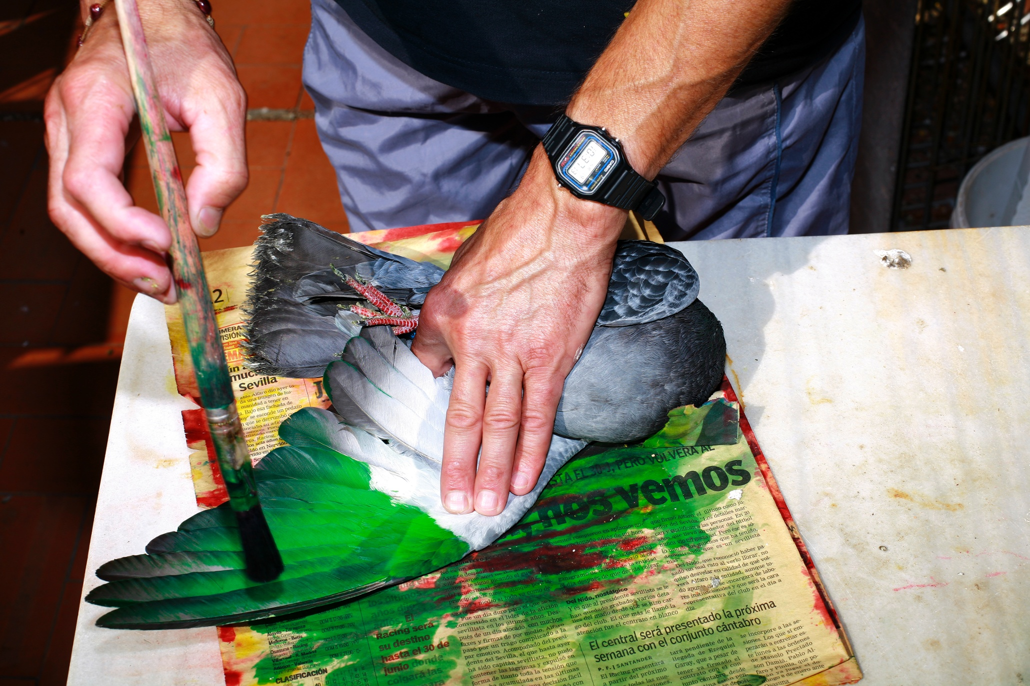 The Spaniards Who Paint Their Pigeons In Day Glo Colours