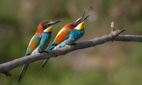 Birders flock to see exotic bee-eaters