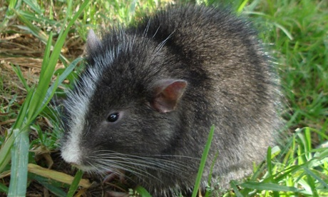 SPECIES OF CHINCHILLA THOUGHT EXTINCT, REDISCOVERED IN ...