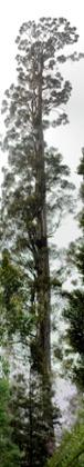 Centurion tree Tasmania