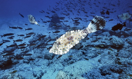 Three scribbled filefish near Ascension Island