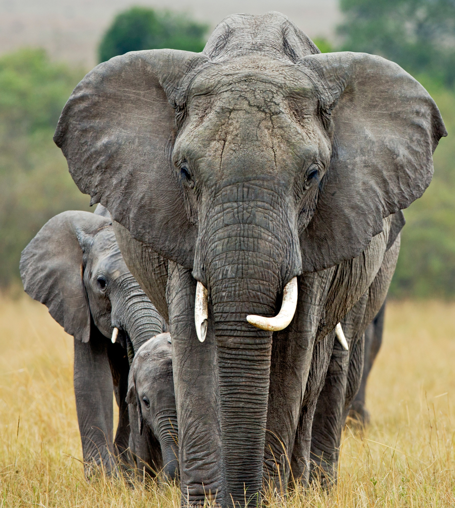 animals endangered facing extinction species elephant elephants african climate change wwf animal baby most things extinct global warming reversal gender