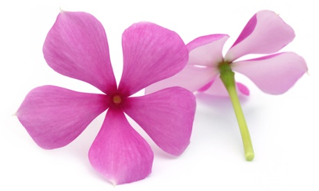 Many drugs used to treat cancer are derived from plants - such as vincristine, which comes from the periwinkle.