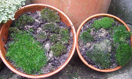 Moss growing in pots