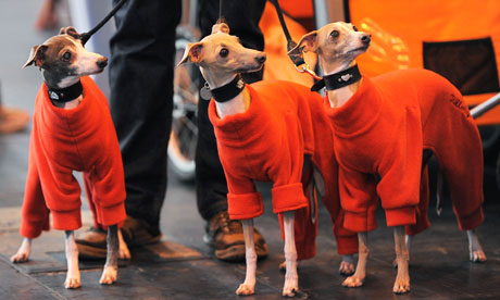 Crufts: Italian greyhounds