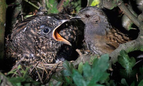 A call for the cuckoo: how to help an endangered bird