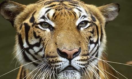 Critically endangered species in Sumatra on the road to extinction