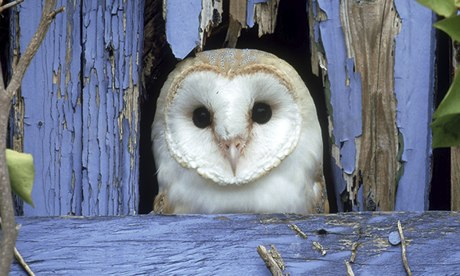 Battle to save barn owl after freak weather kills thousands