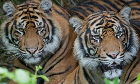 Industry, fires and poachers shrink Sumatran tigers' last stronghold