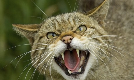 Extinction by stealth: how long can the Scottish wildcat survive?