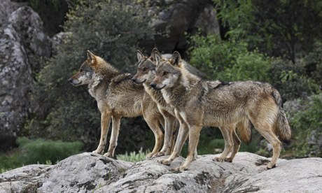 From the steppe to central Spain, Europe echoes to the howl of the wolf