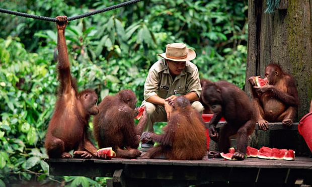 Meeting Orangutans In Borneo Travel The Guardian