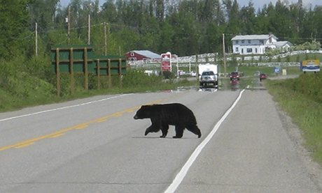 Caution: bears crossing … Judi spotted this beast crossing the road.