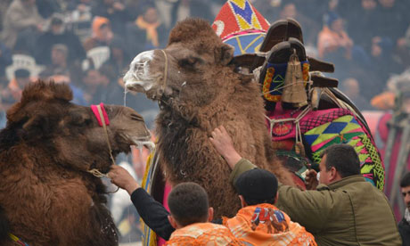 Camels battle in five-minute bouts