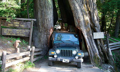 Shrine Drive-Thru Tree, California