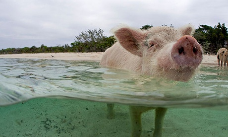 Wild swimming pig at Staniel Cay in the Bahamas.