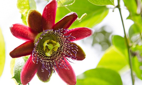 passion fruit flower